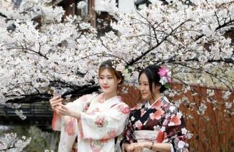 ژاپن؛ جشن شکوفه های گیلاس